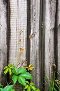 Branch of the wild grapes with green leafs on natural wooden background. - stock photo