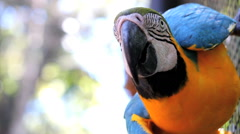 Blue-Yellow Macaw. Arara drinking water. Brazil. Birds Stock Footage