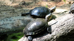 Turtles in a pond Stock Footage