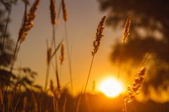 stalk of wheat grass close-up photo silhouette at sunset and sun - stock photo