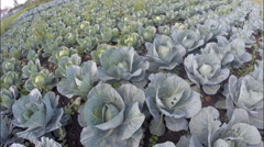 Cabbage growing on a large garden - stock footage