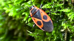 Red and black beetle on the background of green moss. Stock Footage