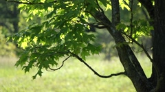 Sugar Maple Leaves in the Wind Stock Footage