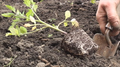 Planting new tomato plant Stock Footage