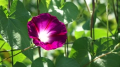 Pink Morning Glory Swaying in the Breeze Stock Footage