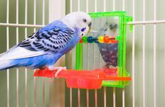 Parakeet Stock Photos