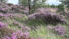 Fields of blooming heather in Scotland, HD footage Stock Footage