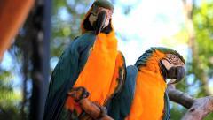 Couple. Blue Yellow Macaw. Arara. Ararauna. Brazil. Birds Stock Footage