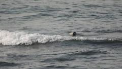 Oregon Coast Scenic: Sea Lions Stock Footage