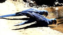 Couple drinking water. Blue Macaw. Arara. Ararauna. Brazil Stock Footage