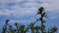 Thistle Plants Against the Sky Stock Footage