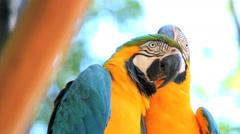 Couple. Blue Yellow Macaw. Arara. Ararauna. Brazil. Bird Stock Footage