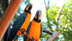 Couple. Blue Yellow Macaw. Arara. Ararauna. Brazil Stock Footage
