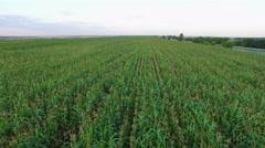 Stock Video Footage of Aero Flight over the corn field in sunset