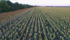 Aero Flight over the sorghum field in sunset Stock Footage