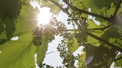 Early Grapes on an Italian Vineyard in Prosecco County 04 Stock Footage