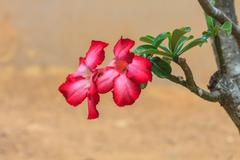 Beautiful pink azalea flowers tropical flower - stock photo