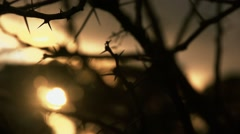 Sunset through thorn tree. Stock Footage