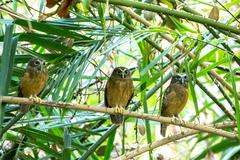Ochre-bellied Boobook (Ninox ochracea) in Sulawesi Stock Photos