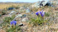 Gentiana grandiflora - stock footage