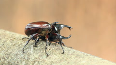 Two male rhino stag beetle fighting Stock Footage