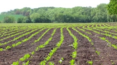 Flat rows of beet sprouts on the field Stock Footage