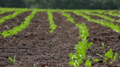 Rows of green beet sprouts on the field Stock Footage
