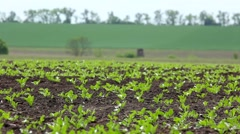 Green beet sprouts on the field Stock Footage