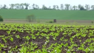 Stock Video Footage of Green beet sprouts on the field