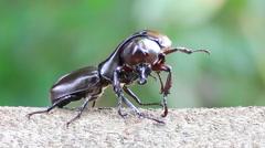 Rhinoceros beetle were fighting Stock Footage