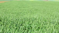Green wheat field in the wind Stock Footage