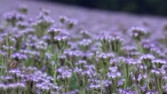 Stock Video Footage of Agricultural field of Phacelia tanacetifolia flowers
