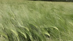 Wheat green field in the wind Stock Footage