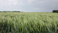 Windy day on wheat field Stock Footage
