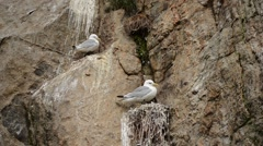 Black-legged kittiwake sea birds nesting in cliffside in summer Stock Footage