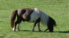 White and brown pony grazing in a meadow Stock Footage