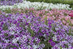 Many petunia flowers in a garden - stock photo