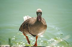 Greater white-fronted goose - stock photo
