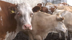 Cow on farm 4K Stock Footage