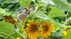 sparrows peck the seeds of a sunflower - stock footage