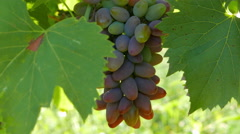 Ripe grapes swaying in the wind Stock Footage