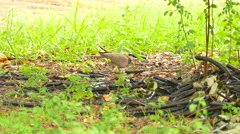 Spotted dove is resting and walking on the ground with green grass Stock Footage
