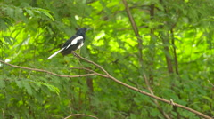 Asian small bird on Island branches Stock Footage