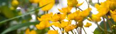 Marsh marigold flowers with a fly Stock Photos