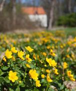 Beautiful marsh marigold flowers in nature Stock Photos