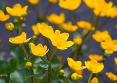 beautiful marsh marigold flowers in nature - stock photo