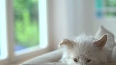 Cute,white,scruffy dog 4 Stock Footage