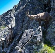 The Alpine ibex, (Capra ibex), is a species of wild goat that lives in the mo - stock photo