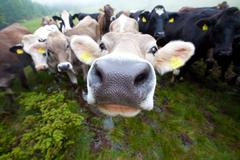 curious clouse up Cows group only a nose is sharp - stock photo