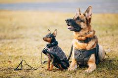 Brown German Sheepdog And Black Miniature Pinscher Pincher Toget - stock photo